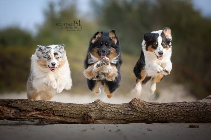by FoxystylePetPhotography - Dogs In Action Photo Contest