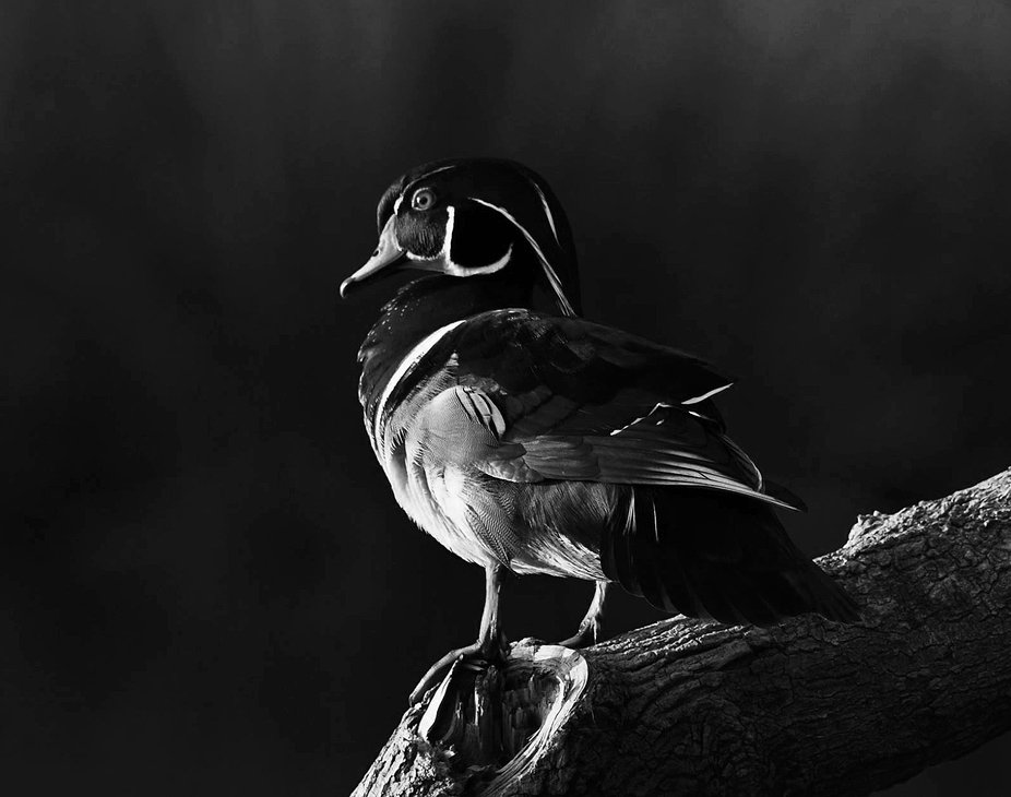 I love photographing the colorful wood ducks and discovered that they are just as beautiful in bl...