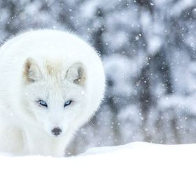 The arctic fox is an incredibly hardy animal that can survive frigid Arctic temperatures as low as –58°F in the treeless lands where it makes ...