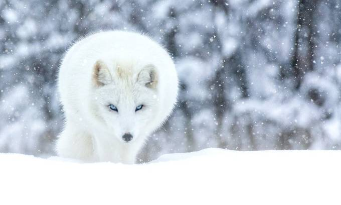 Snow Fox by Jean-Francois - We Love The Winter Photo Contest