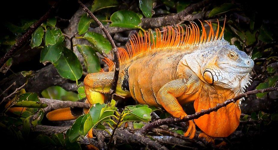 Iguana in Halloween Costume