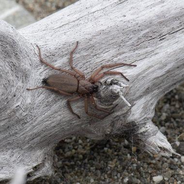 Flatten Bark Spider