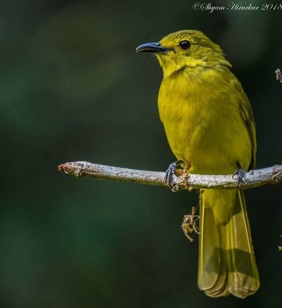 Yellow Bulbul #birdsofindia #birds #bestbirdshots #eye_spy_birds #indianwildlifeofficial #wildlifephotography #wildlife #nikonindiaofficial #nikon #natgeoyourshot #natgeo #planetbirds #pocket_birds #eow #edgeofwild