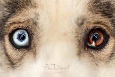 The Eyes of a Husky.