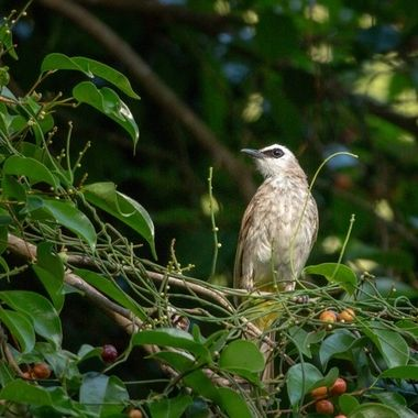 bird at the Banyan tree resort, Bintan, Indonesia