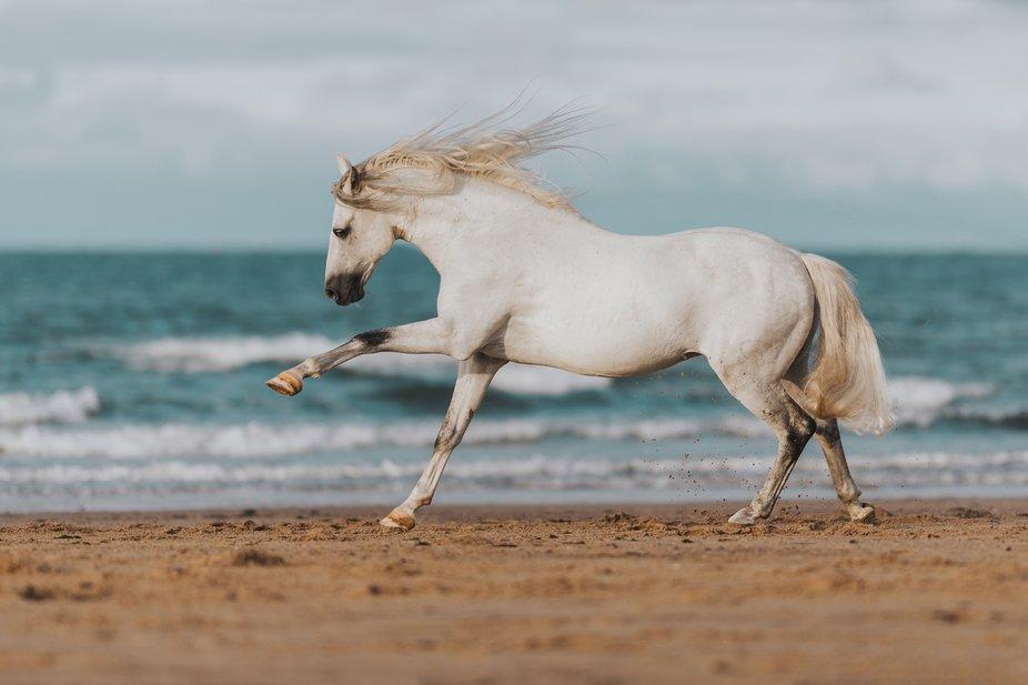 Dante the PRE stallion.