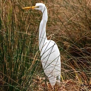 Egret Hiding