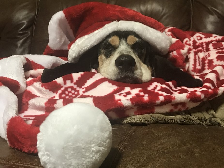 Stella Blue is a snug as a bug in a rug waiting for Santa Clause!