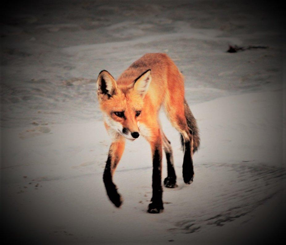 fox on beach of jersey shoreline