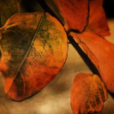 December Crepe Myrtle Leaves