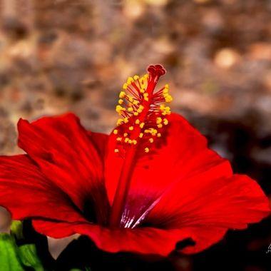 December Hibiscus Stamen