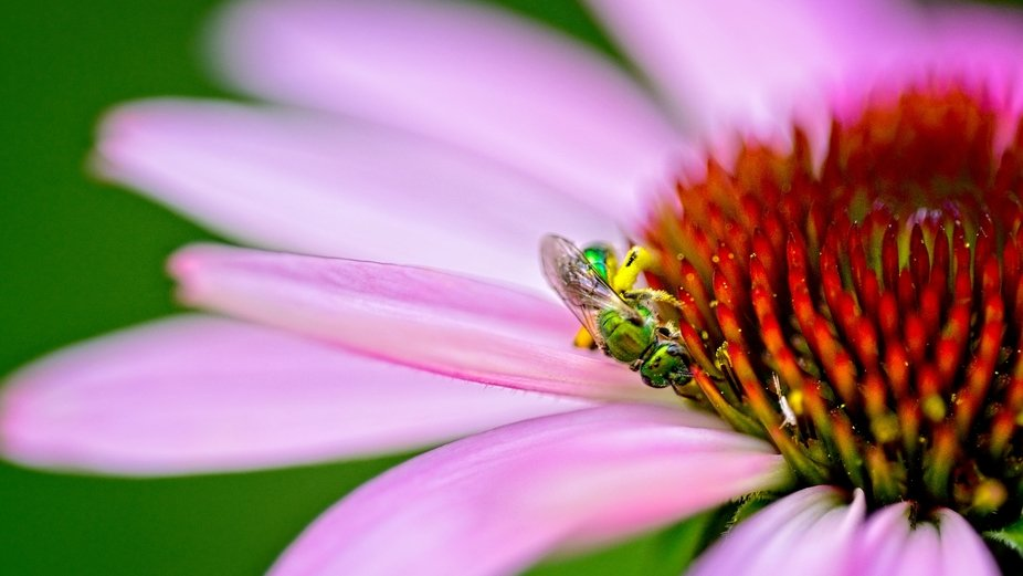 Metallic green bee investigating a cone flower.