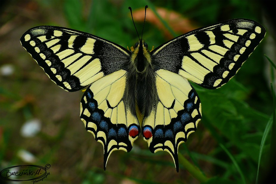 Papilio machaon (Papilionidae)
