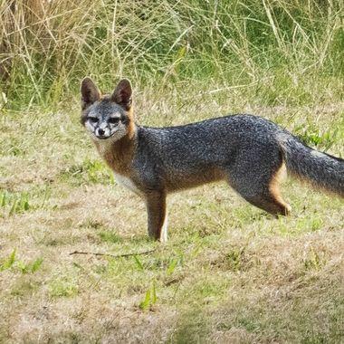 A young Texas Grey Fox checking out a neighbors backyard near lake Travis, Texas
