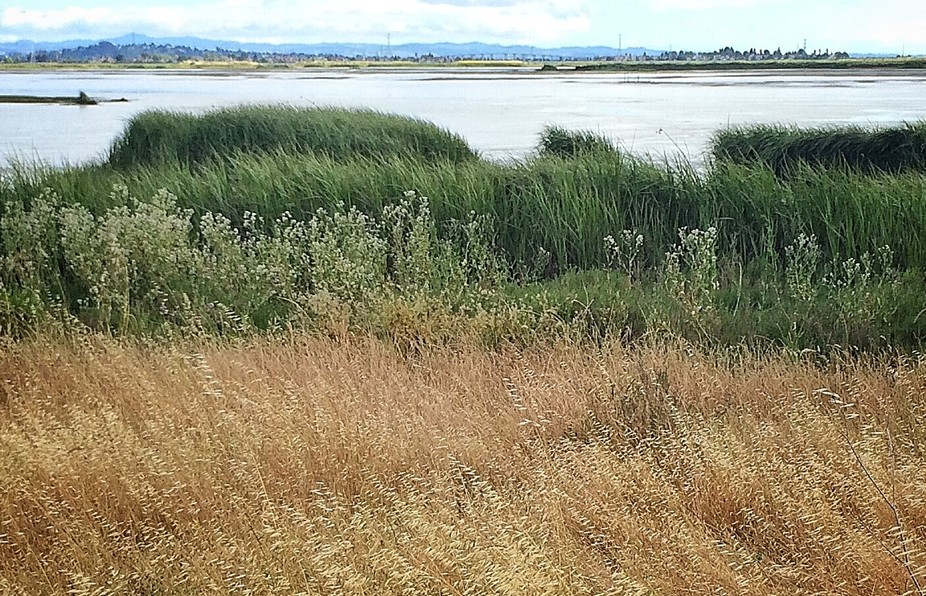 American Canyon Wetlands at Napa River Trail. My favorite walk with the Greyhounds.