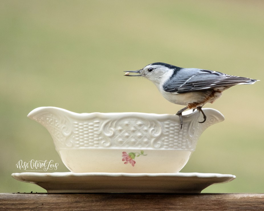 Nuthatch on China