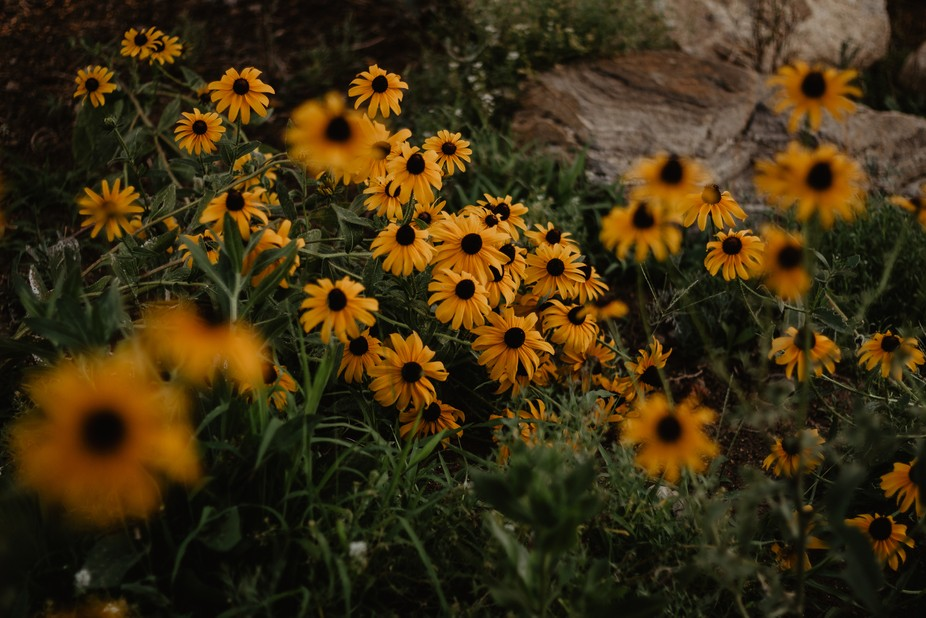 Stunning Black eyed susans I found one day while driving through a suburb area.