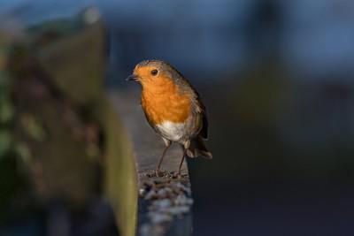 Robin (Yarrow Valley)