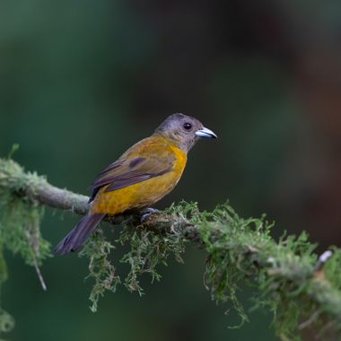 Scarlet-Rumped Tanager -8870
