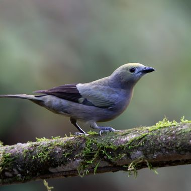Palm Tanager - 8541