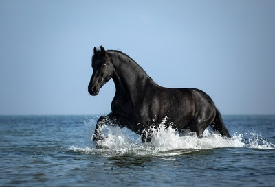 Friesian Thomas