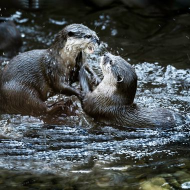 SMall Clawed Otters Playing