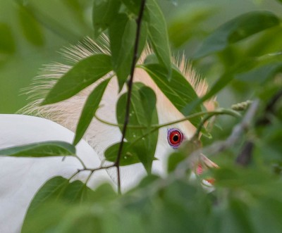 The blood-red eye of a male Cattle Egret during breeding season looks from behind Willow leaves.