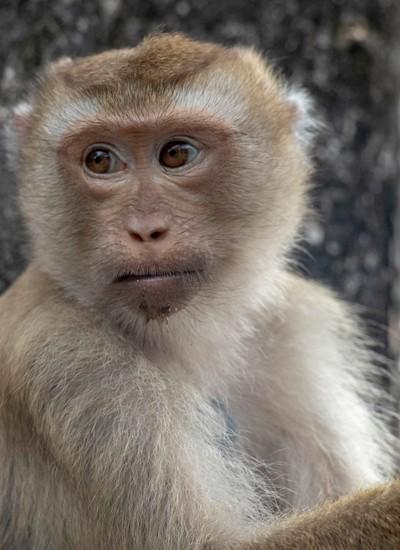 Monkey at Monkey Hill Phuket