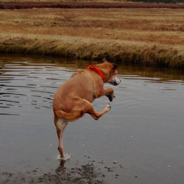 who says Dogs can't walk on water ??