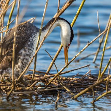Clark's Grebe with egg -9951
