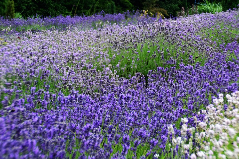 Yorkshire Lavender is a beautiful place to visit if you want a varied display of lavender.