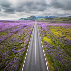Aerial view of Iceland's ring road surrounded by vast fields of Lupines.
