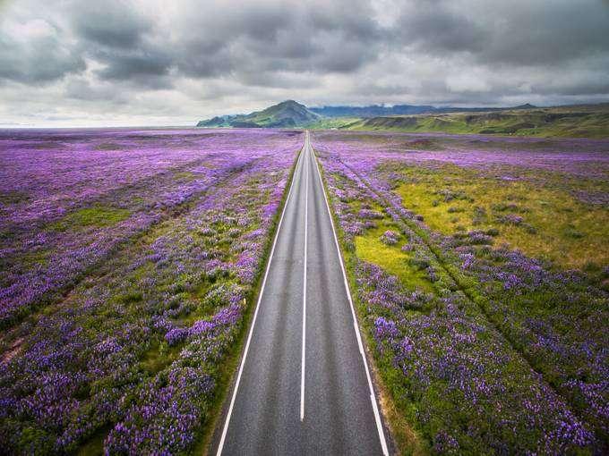 Lupines of Iceland. by ManishMamtani - Straight Roads Photo Contest