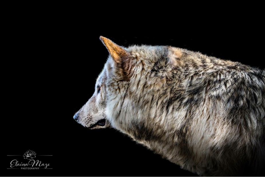 Wolves symbolize loyalty, spirit, ritual and guardianship. They remind us to trust our instincts ...