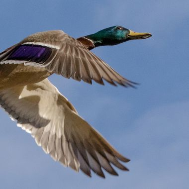 A Mallard Duck taking off