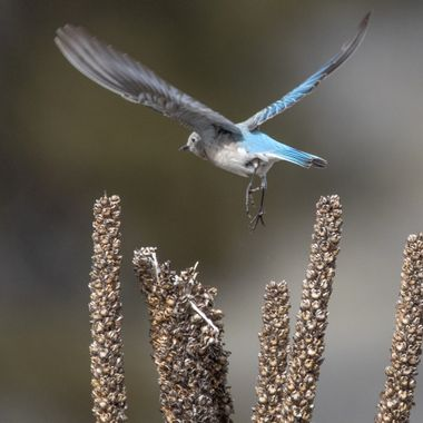 A bluebird in flight