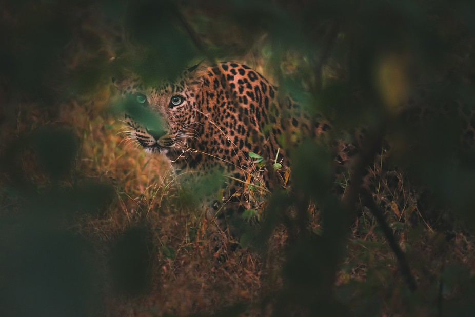 The sun had just about risen at Gir National Park, and leopard calls could be heard in the forest...