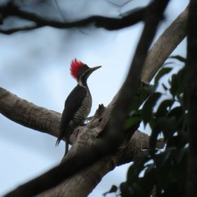 Red Head Woodpecker