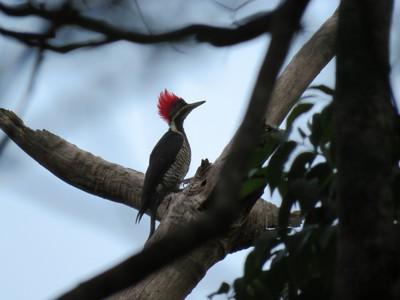 Red Head Woodpecker