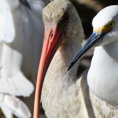 Great White Egret and Ibis