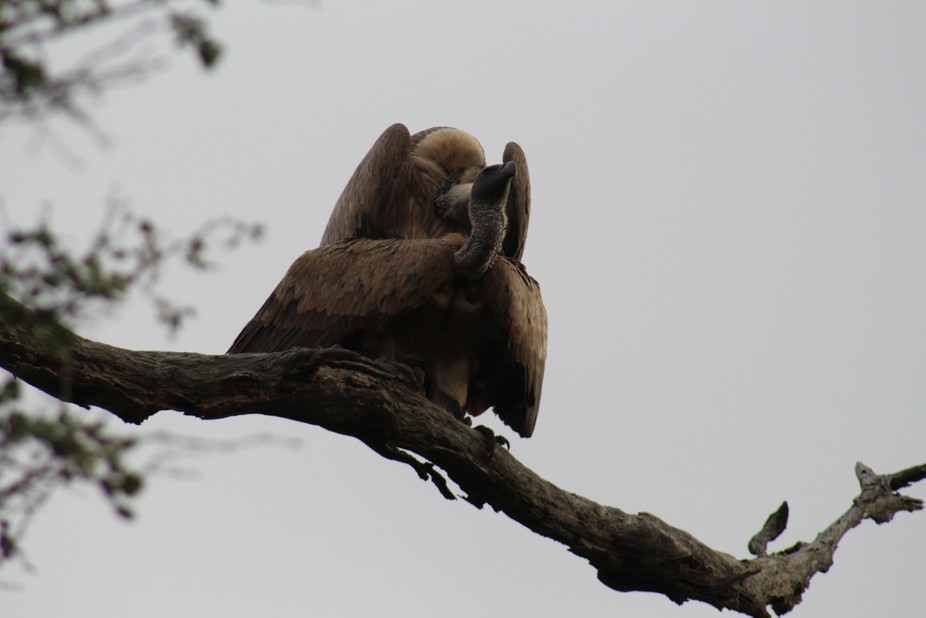 Vultures mating
