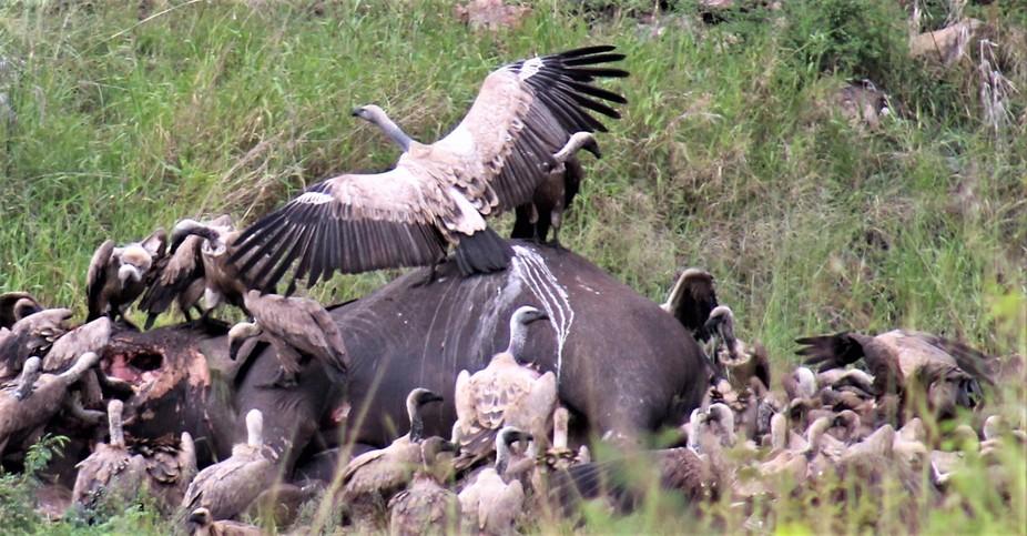 Vultures on Elephant Carcas