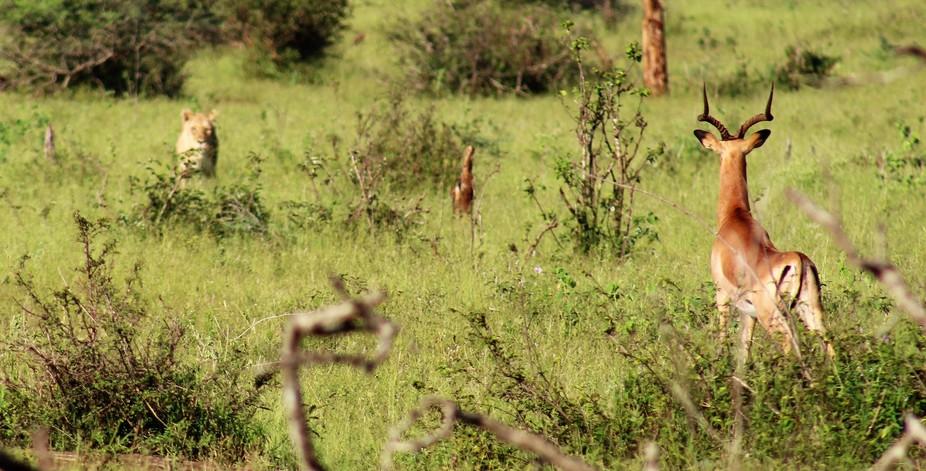 Imala watching Lioness approuching
