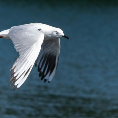 Black-billed Gull Flyby
