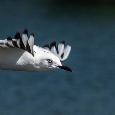 Black-billed Gull in Flight
