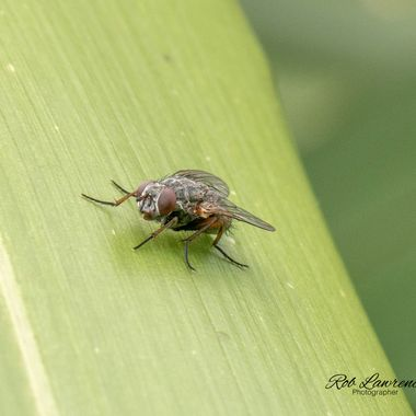 Fly on Flax