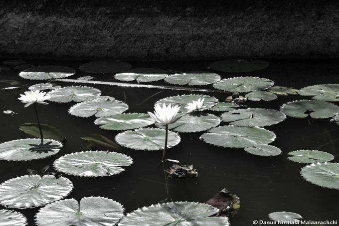A lotus rises from water, yet manage to stay above untouched by water.