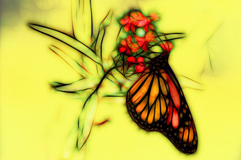 This beautiful monarch butterfly is a female. She is feeding from the milkweed nectar. Monarchs l...
