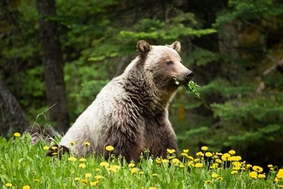 Lunchtime for a canadian sow grizzly
