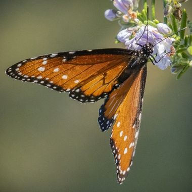 A monarch butterfly snacking on a late fall, early winter flower near Lake Travis, Texas